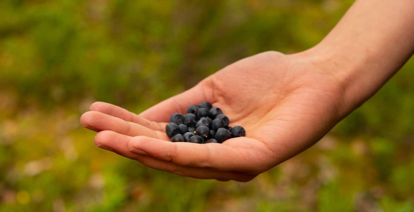 Hand mit wilden Blaubeeren